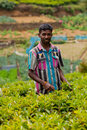 Man collects tea on plantations in haputale sri lanka Royalty Free Stock Photos