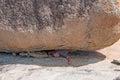 Man crushed under rock gigantic boulder Stock Images