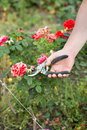 Man cuts off the rose Royalty Free Stock Photo