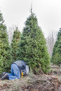 A man cutting down a Christmas tree on a tree farm