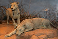 Man Eating Maneless Lions of Tsavo