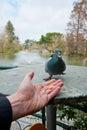 Man feeding a pigeon Royalty Free Stock Photo