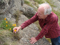 Man and flower an elderly looking at wild growing among rocks Stock Image