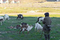 Man and goats on field old watching sunny day Royalty Free Stock Photography