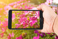 Man hand hold touch screen smart phone on Pink Cosmos Flower Royalty Free Stock Photo