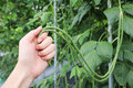 Man hand holding yard long bean or cow-pea in field plant. Royalty Free Stock Photo