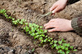Man hands with hoe cultivated of young green sprout in the soil, spring bed of new crops Royalty Free Stock Photo