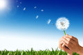 Man hands holding a dandelion flower with some spores flying away green grass and blue sky with sun in the background Royalty Free Stock Images
