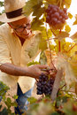 Man harvesting grapes for wine Royalty Free Stock Photo