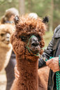 Man holding alpaca by rein fluffy brown Stock Image