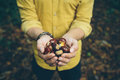 Man holding fresh chestnuts picked from forest floor wearing yellow shirt handful of the in the kent countryside england uk Royalty Free Stock Photo