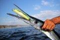 A man holding a needlefish caught with lures Royalty Free Stock Photo