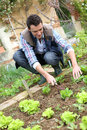 Man kneeling in kitchen garden cultivating lettuces Stock Images