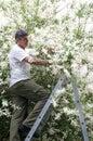 Man on Ladder Pruning Tree