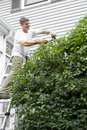 Man on Ladder Trimming A Climbing Vine Royalty Free Stock Photo