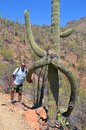 Man nearby saguaro tucson arizona is an arborescent cactus species in the monotypic genus carnegiea it is native to the sonoran Royalty Free Stock Image