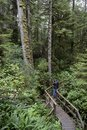 Man photographing old trees, Rain Forest Trail, Pacific Rim National Park Royalty Free Stock Photo