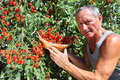 Man picking cherry tomato Royalty Free Stock Photography