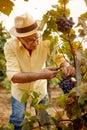 Man picking grapes in vineyard Royalty Free Stock Photo