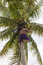 Man picks up coconut from palm tree with traditional skirt and barfoot climbs a palmtree to pick a Royalty Free Stock Photography