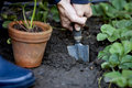 A man planting a strawberry plant Royalty Free Stock Photo