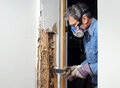 Man removing termite damaged wood from wall prying sheetrock and by infestation in house Stock Image