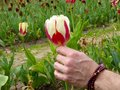 A mans hand holding a red and white tulip Royalty Free Stock Photo