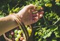 Man's hand picking and putting ripe gooseberies to birchbark basket full of berries in garden on sunny summer day Royalty Free Stock Photo