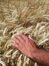 Man's hand and wheat ears Royalty Free Stock Images