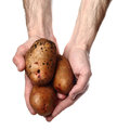 Man`s hands holding potatoes. Isolated on white background Royalty Free Stock Photo