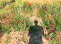 Man's shadow on poppies meadow, Italy Royalty Free Stock Photo