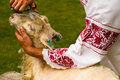 Man shearing a sheep with scissors Royalty Free Stock Image