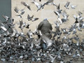 Man surounded by pigeons paris france surrounded flying around him Stock Photo