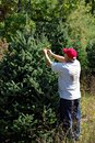 Man Tagging Christmas Trees