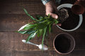 Man transplants a flower Spathiphyllum in flower pot on the right Royalty Free Stock Photo