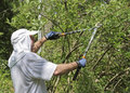 Man using long shears to prune a bush pruning in summer Stock Image