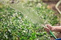 Man watering the garden from hose Royalty Free Stock Photo