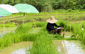 Man worker at farm work green rice grass Royalty Free Stock Photo