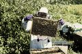 Man works in an apiary collecting bee honey Royalty Free Stock Photo