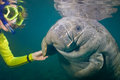 Manatee greeting a female snorkeler greets a some backscatter in the turbid water Royalty Free Stock Photography