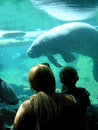 Manatee tank Stock Photos