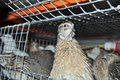 Manchurian quail in a cage with other birds including Texas quail, and white giant
