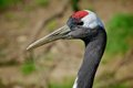 Manchurian Red-naped Crane Royalty Free Stock Photo