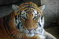 The manchurian tiger in the zoo leisurely Royalty Free Stock Images