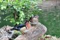 Mandarin Duck Royalty Free Stock Images