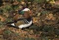 Mandarin duck / Aix galericulata Stock Image