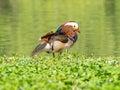 Mandarin duck Aix galericulata Royalty Free Stock Photo
