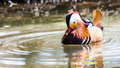 Mandarin duck aix galericulata in his typical vibrant colors Stock Image