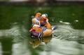 Mandarin duck, Aix galericulata, male on water Royalty Free Stock Photo