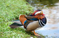 The mandarin duck aix galericulata near water Royalty Free Stock Photography